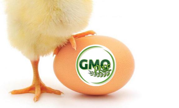 GMO mentes tojás